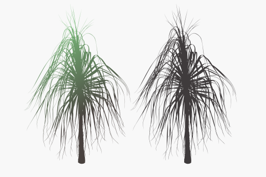 Isolated silhouette design of Dracaena plant