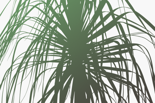 Close up of silhouette graphic of Dracaena plant